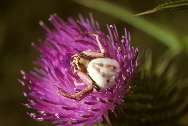 white banded crab spider (Misumenoides formosipes) waiting in ambush