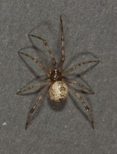 common house spider (Parasteatoda tepidariorum) pale female