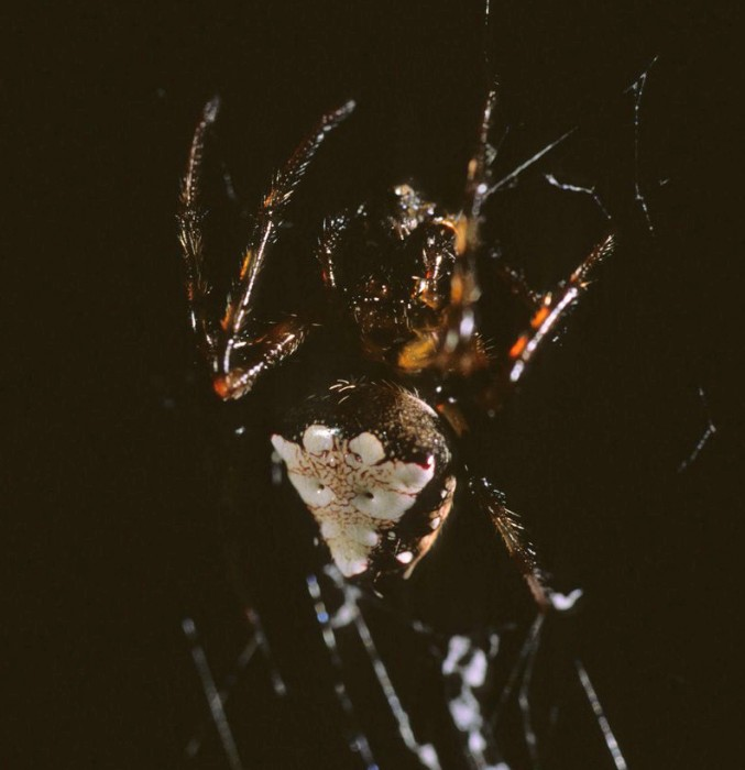 triangulate orbweaver (Verrucosa arenata) black&white color form