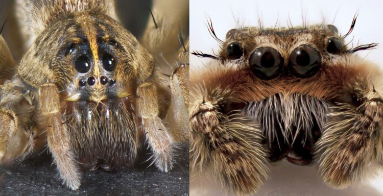 wolf spider face and jumping spider face