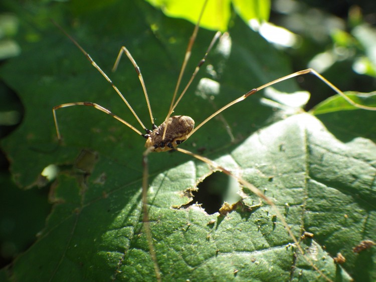 Harvestman, not a spider, but a related arachnid in the Order Opiliones