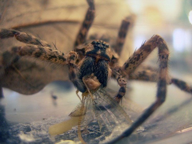 captive fishing spider (Dolomedes tenebrosus) eating a mayfly