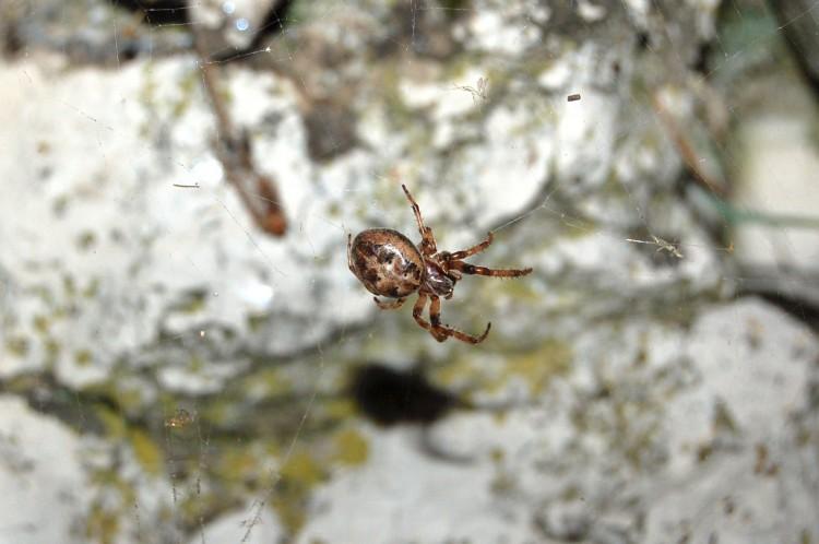 furrow orbweaver (Larinioides cornutus) female
