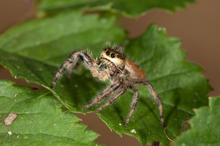 jumping spider (Phidippus clarus) female