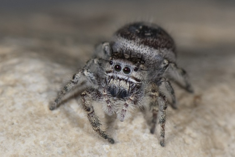 jumping spider (Phidippus putnami) female