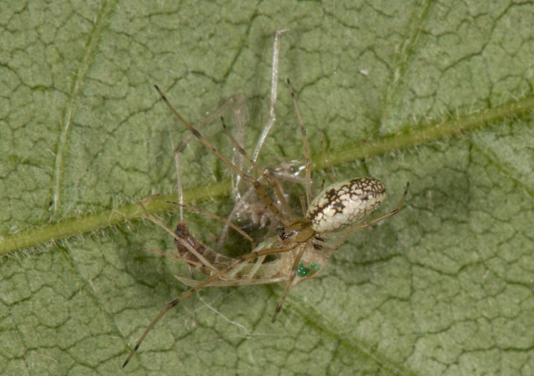 immature hammock spider (Pityohyphantes costatus) with a midge prey