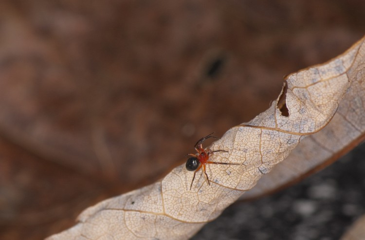 Hypselistes florens female