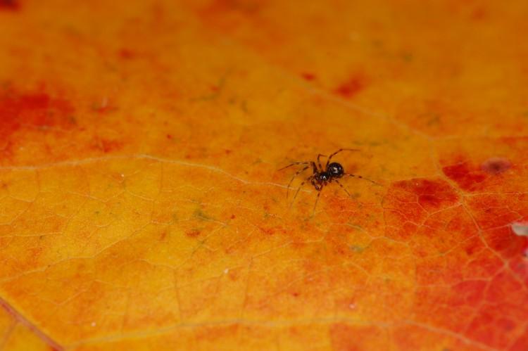 Lepthyphantes leprosus male