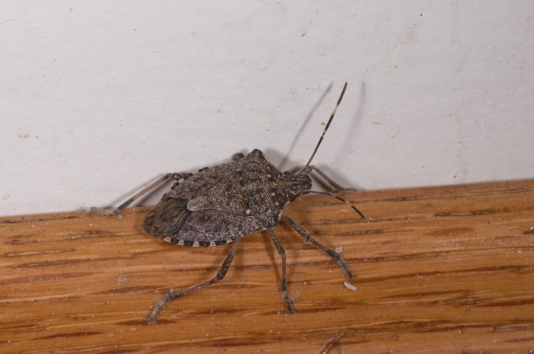 Brown Marmorated Stink Bug (Halyomorpha halys) crawling along the baseboard.