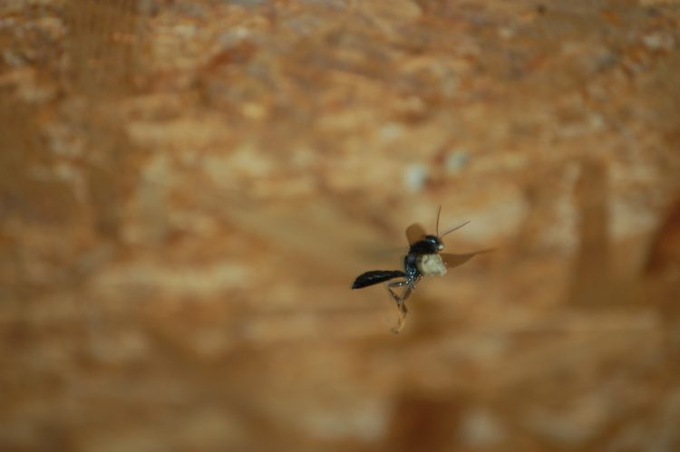 Trypoxylon female flying to nest with load of wet mud