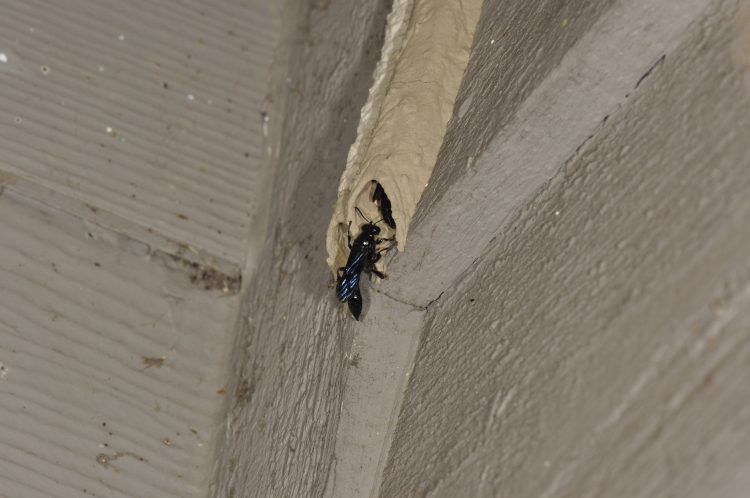 male Trypoxylon wasp guarding entrance to tube with female inside