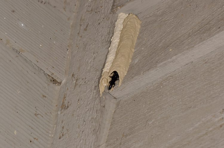 fresh tube of Trypoxylon wasp with pair present, male visible at entrance