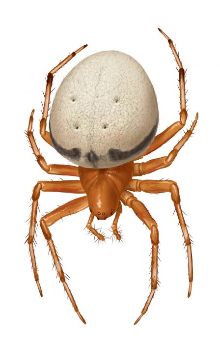 female lattice orbweaver (Araneus thaddeus) illustration by Steve Buchanan