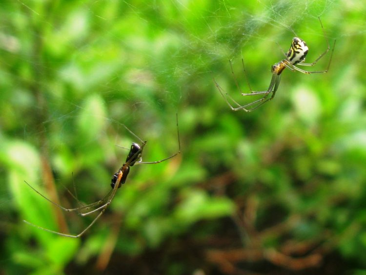 A pair of filmy dome spiders, male on left, by Sarah J. Rose
