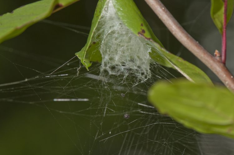 the lattice-like retreat tube of a lattice orbweaver