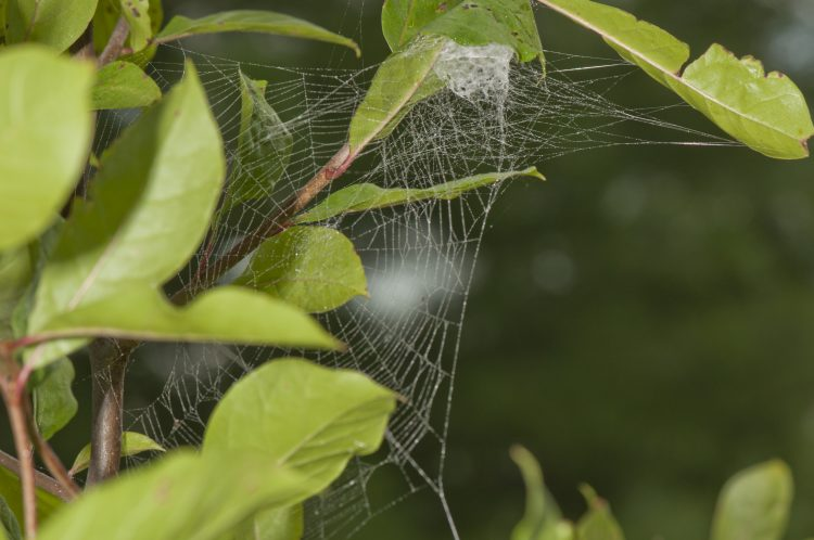 the orb web of a lattice orbweaver (Araneus thaddeus)