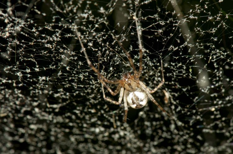 hammock spider (Pityohyphantes costatus) in her web that has been thoroughly coated with dust motes