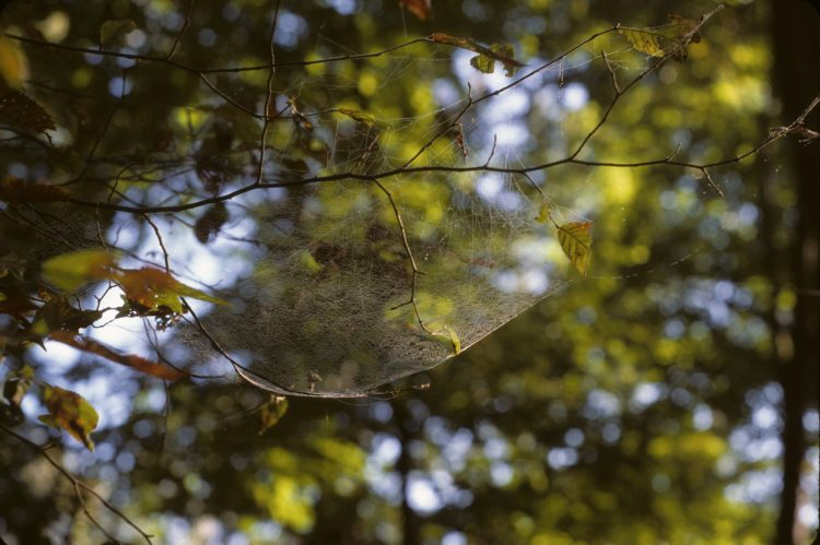 web of a hammock spider (Pityohyphantes costatus)