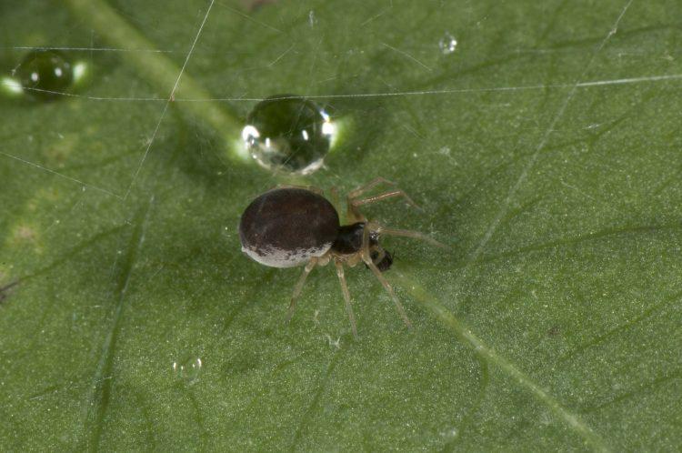 photo of dark form female meshweaver