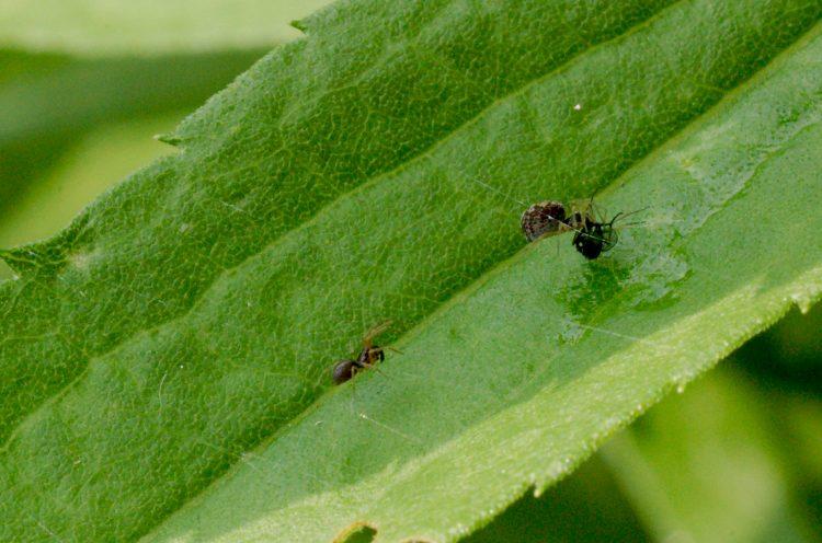 photo of pair of meshweavers on leaf