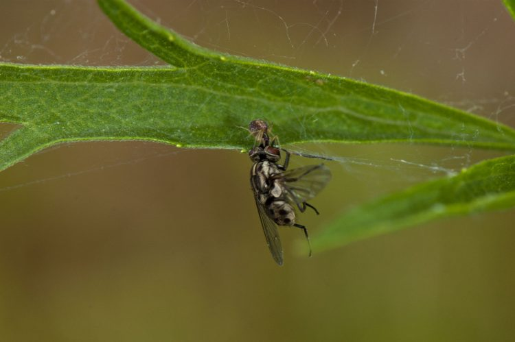 photo of mesweaver with large fly prey