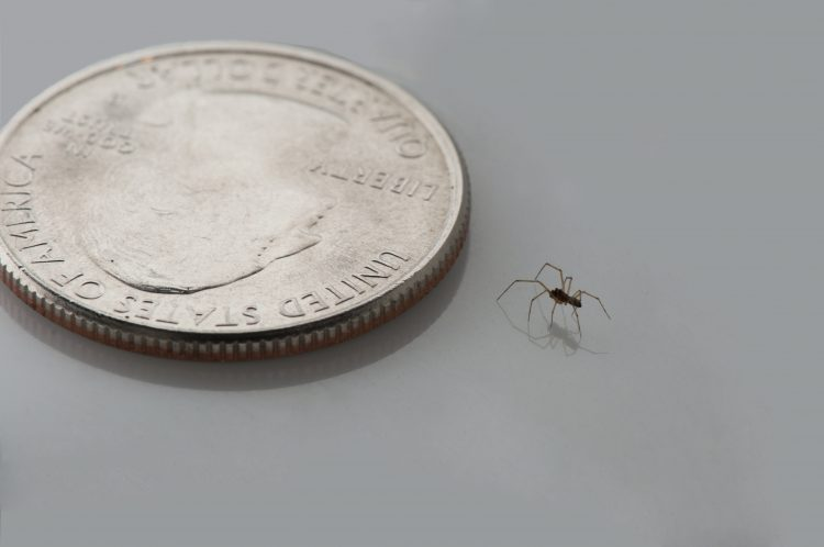 adult male Agyneta micaria with quarter for scale