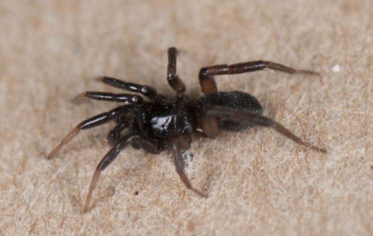 adult male Drassyllus depressus