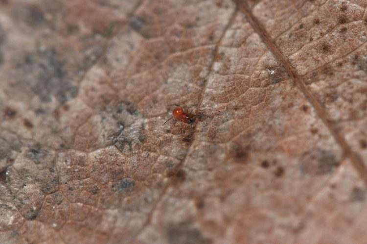 adult male Idionella formosa