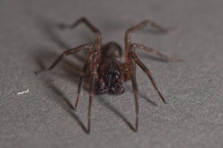 adult male Wadotes calcaratus