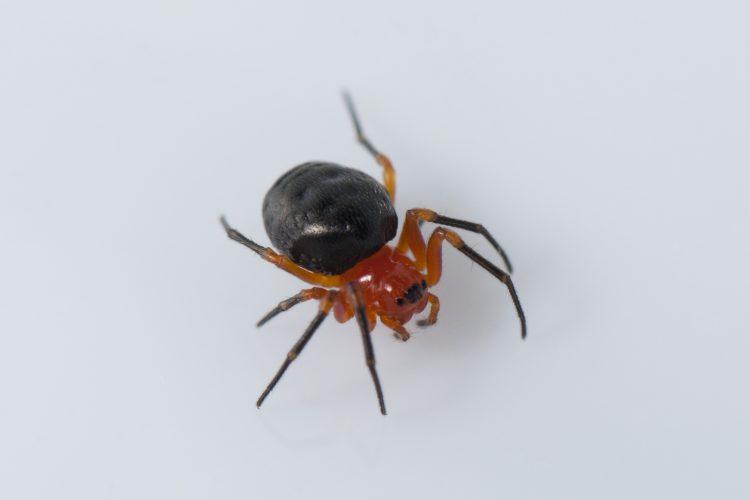 Hypsosinga rubens female dark form in captivity