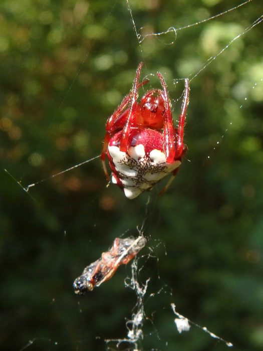 triangulate orbweaver, red form, female