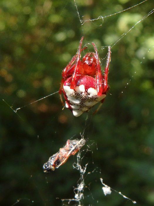 triangulate orbweaver, red form, female