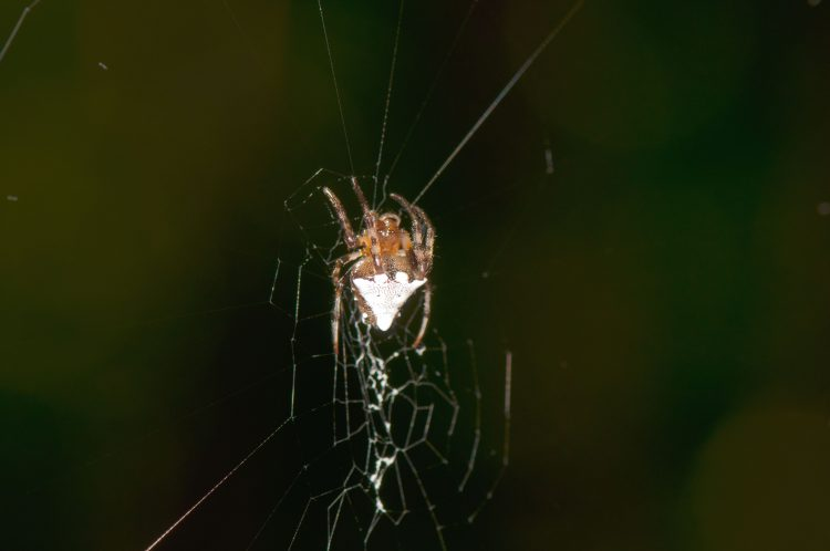 triangulate orbweaver (Verrucosa arenata) hanging in her web, head up.