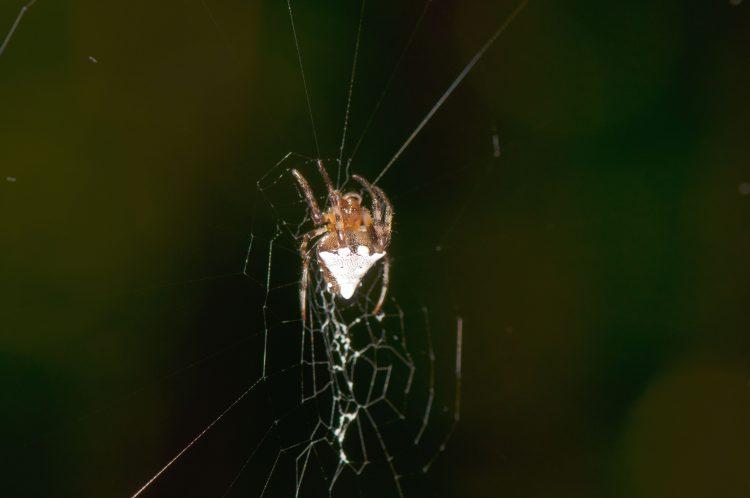 triangulate orbweaver (Verrucosa arenata) hanging in her web, head up.