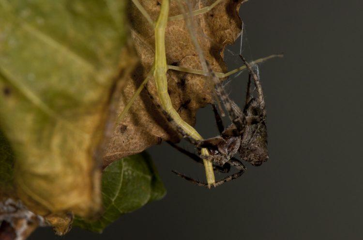 Ocrepeira bites walkingstick prey