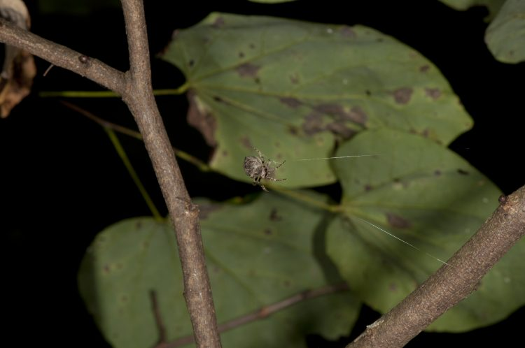 Ocrepeira in her web in Adams County, Ohio