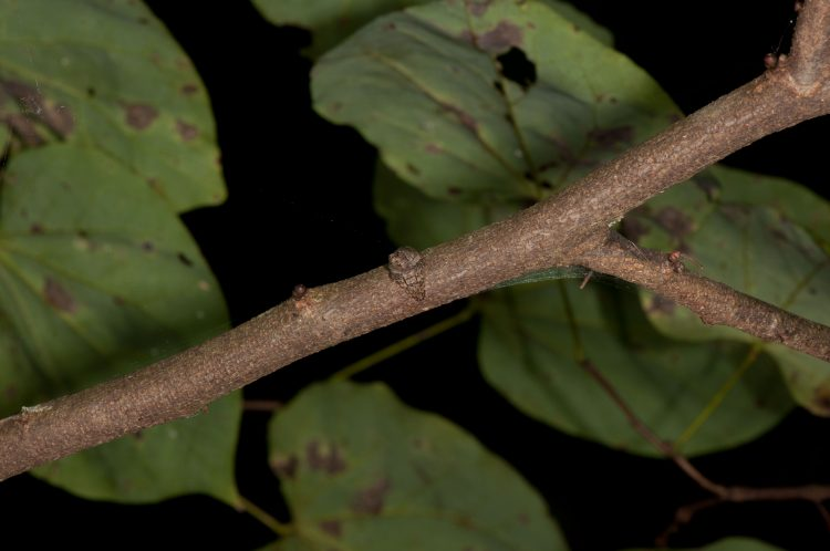 Ocrepeira resting on a twig in Adams County, Ohio