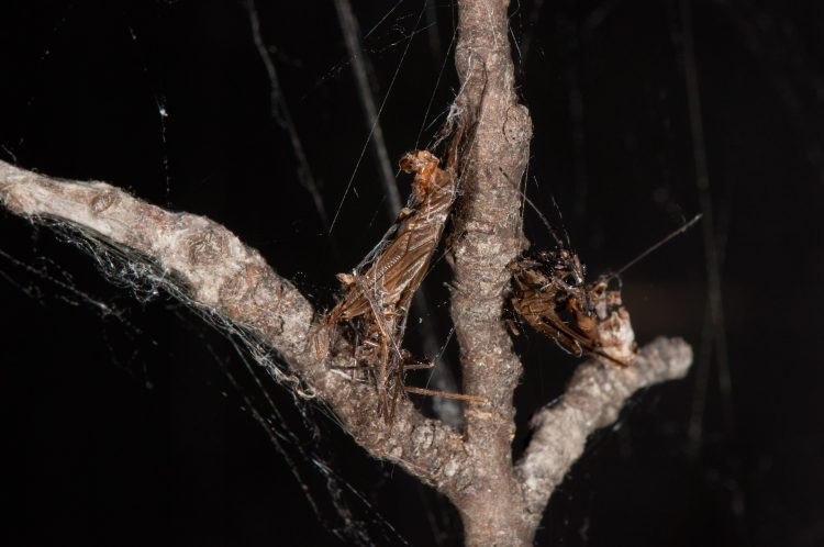 asterisk spider prey; wrapped craneflies